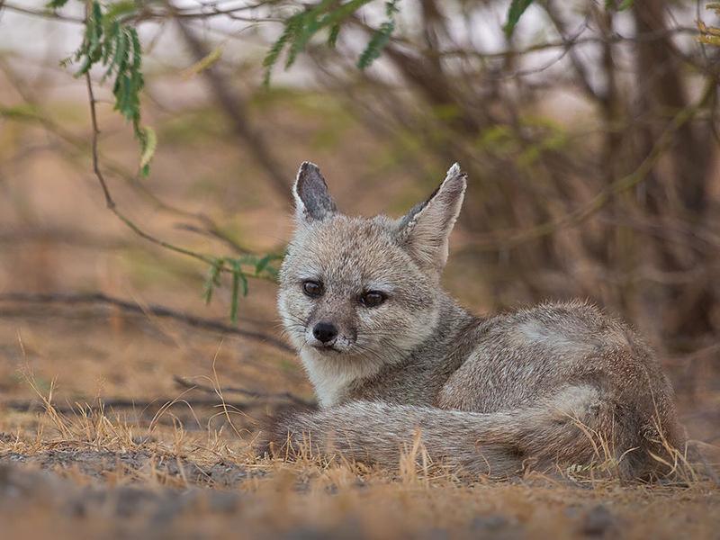 Bengal fox Bandhavgarh