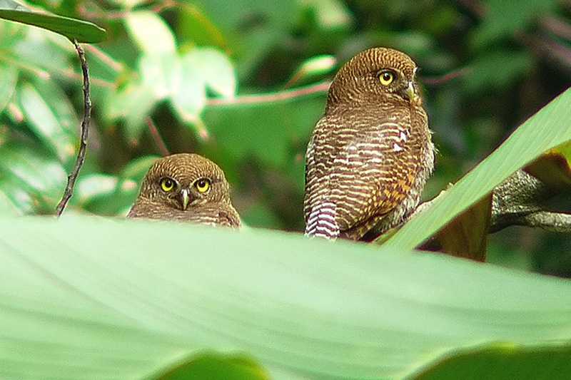 Owls at Tholpetty Wildlife Reserve