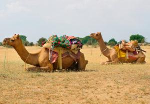 Camels in Thar bikaner