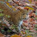 Leopard Satpura National Park