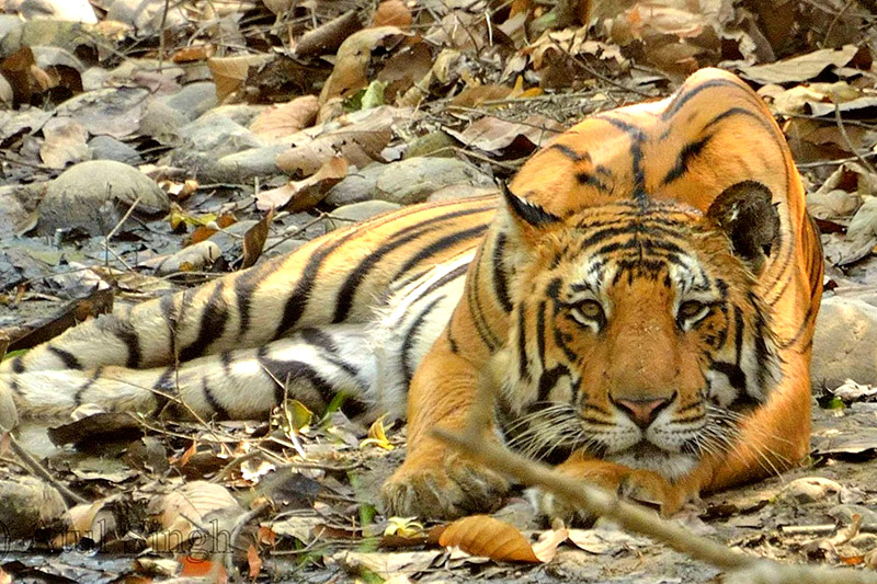 Tiger at Sunderkhal, Corbett National Park
