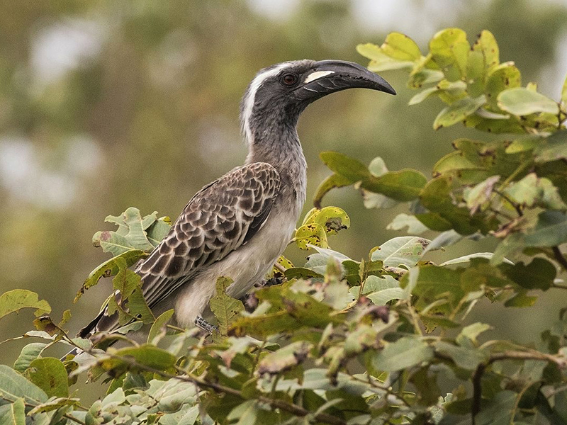 grey hornbill bandhavgarh