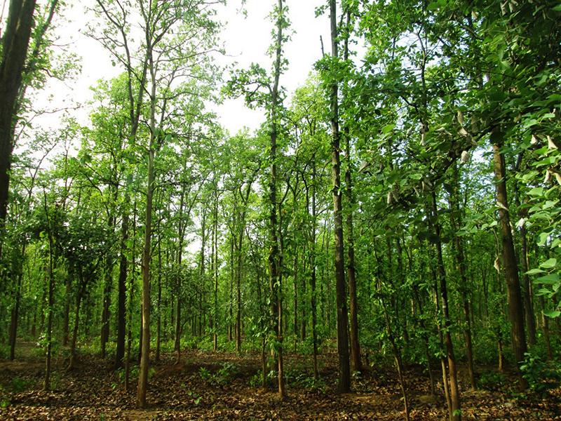 sal trees bandhavgarh