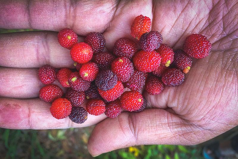 Mulberries Mukteshwar Uttarakhand