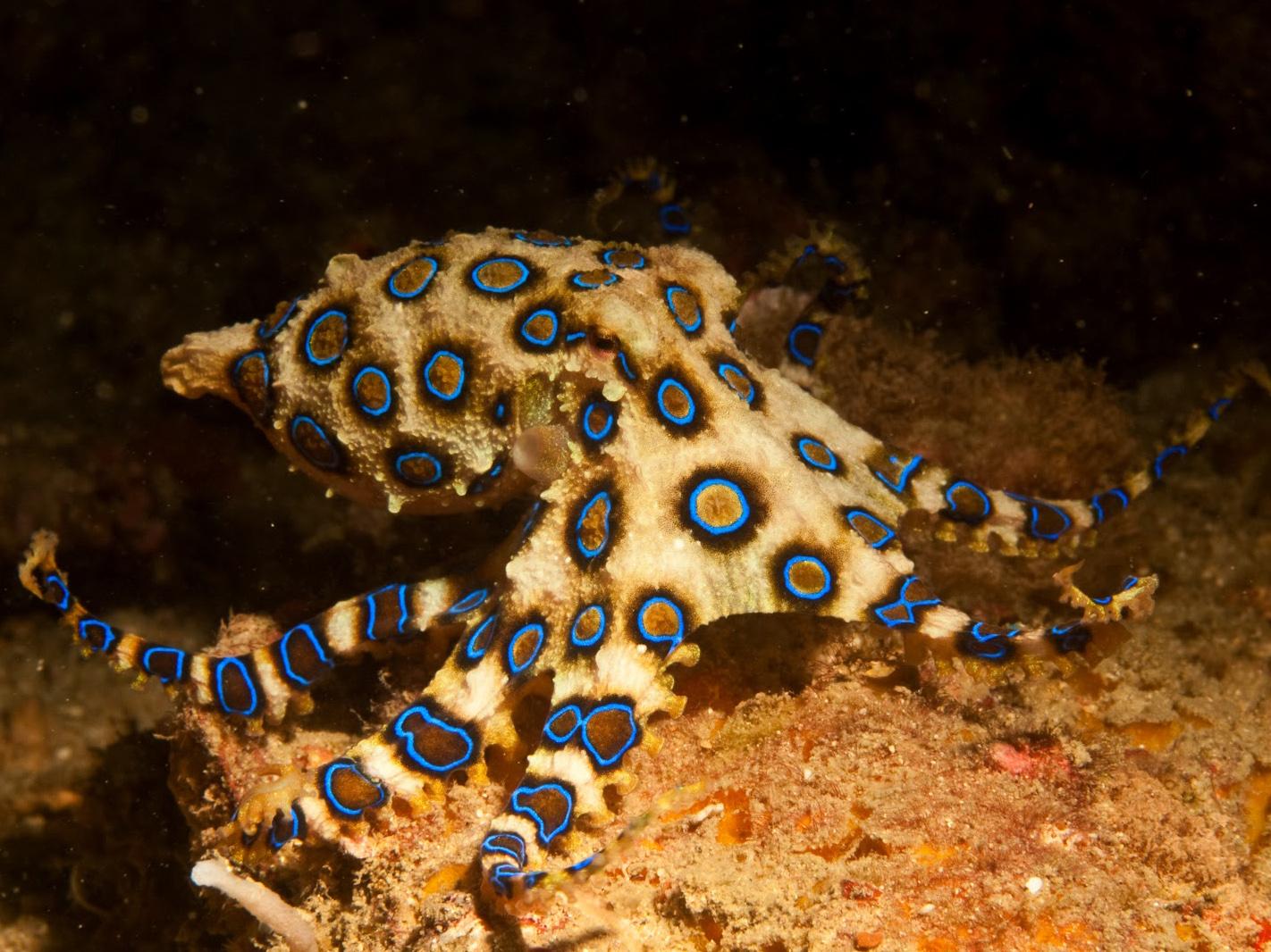 blue ring octopus Australia Dangerous Creature