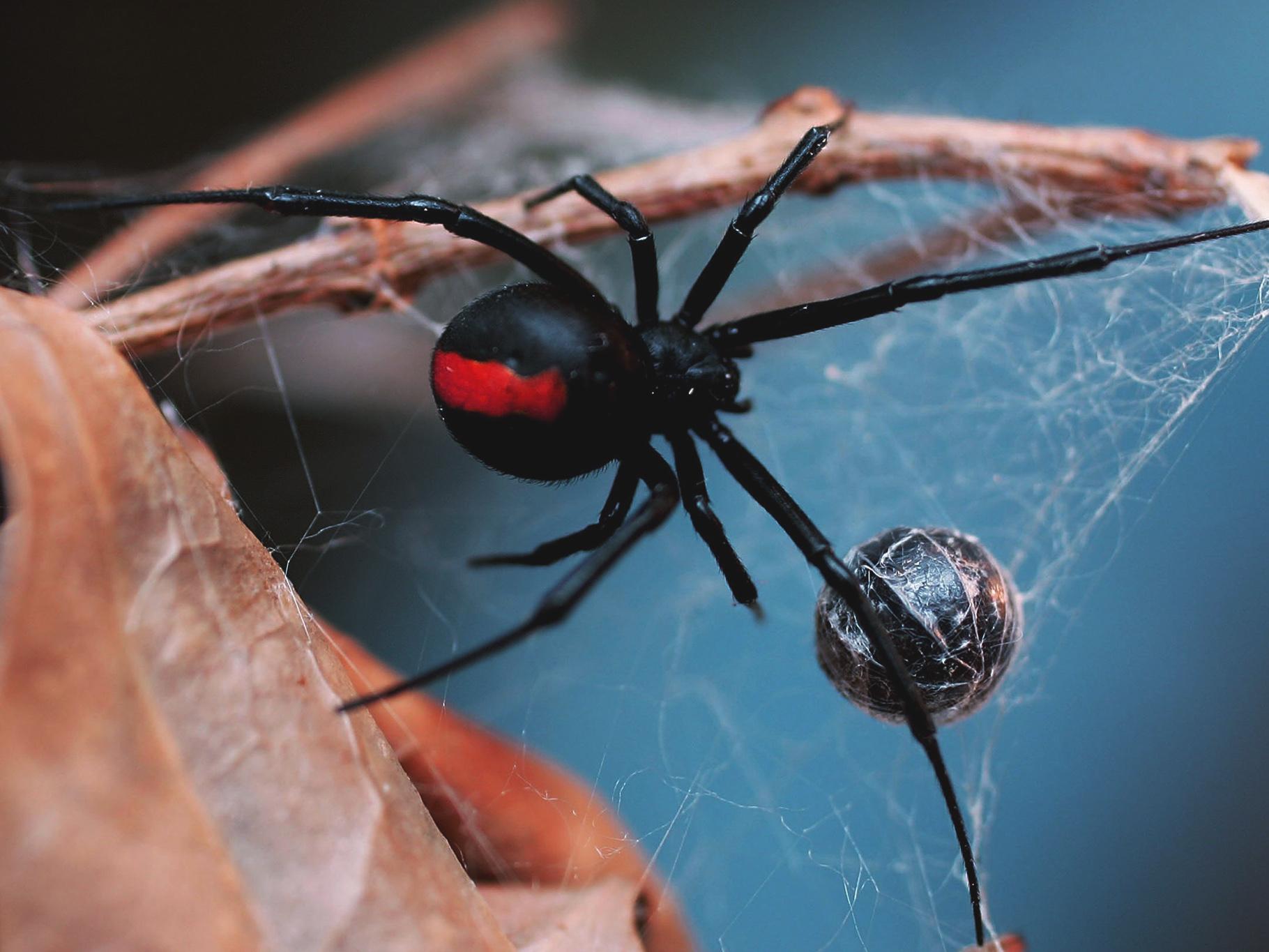 Red Back Spider Australia Dangerous Creature