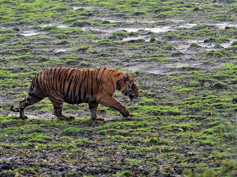Royal Bengal Tiger Kaziranga National Park