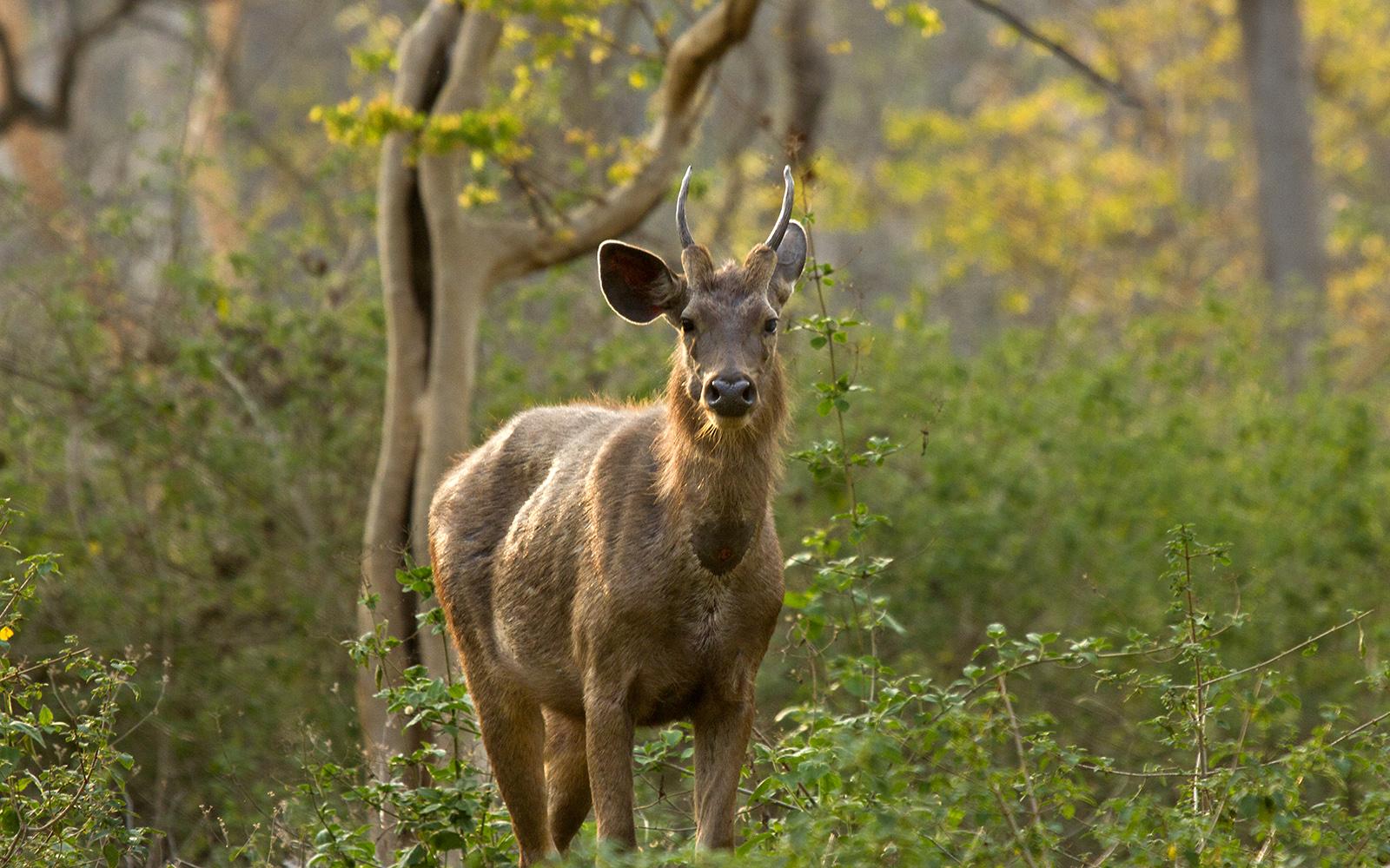 Sambar_deer_Kerala Itinerary