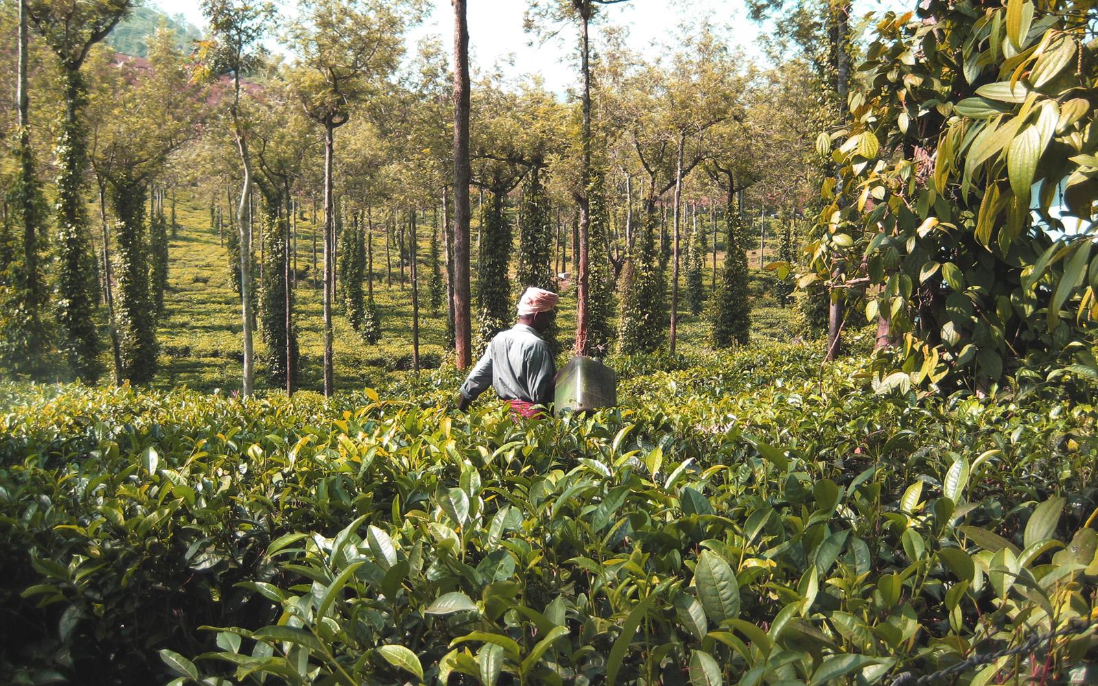cardamom plantations Kerala Itinerary