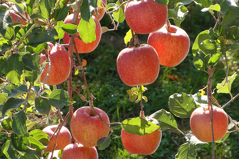 Apples of Thanedar Narkanda