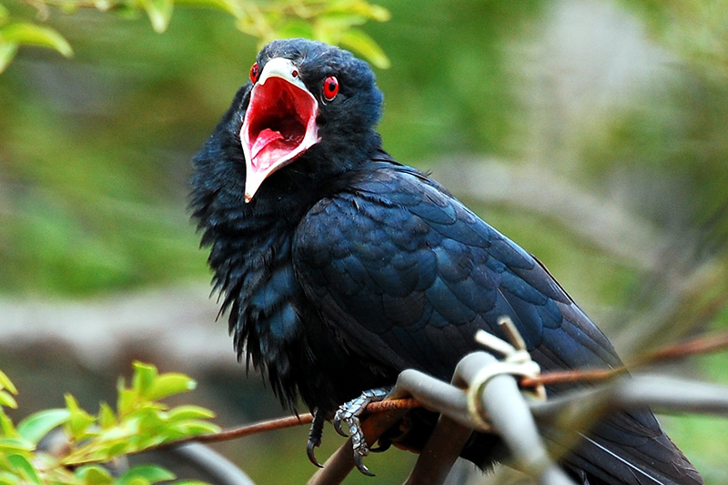 Asian Koel at Shola Reserves
