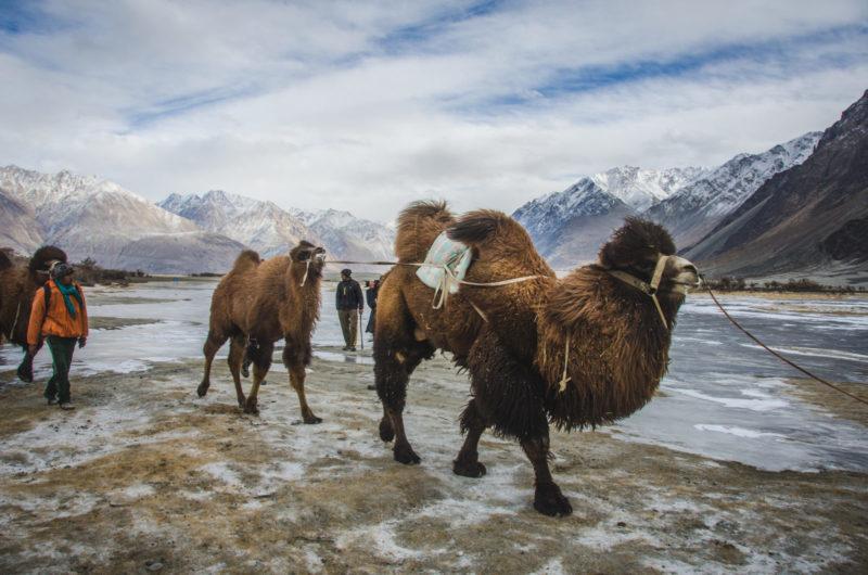Double hump camel ladakh nubra