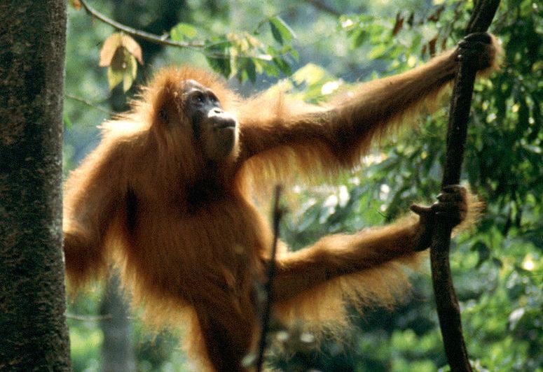 Orangutan at Gunung National Park