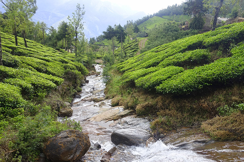 Tea Trail at Munnar