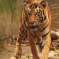 Tiger-at Tadoba Tiger Reserve