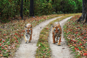 Tiger & Tigress - Kanha National Park