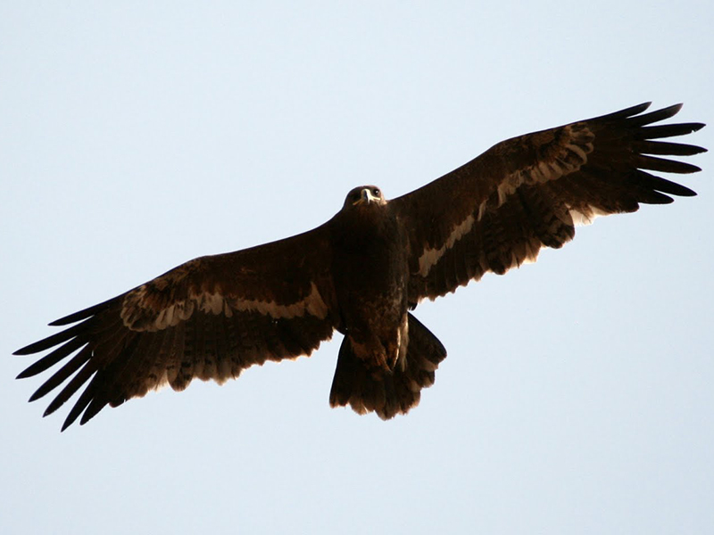 Steppe Eagles Bandhavgarh