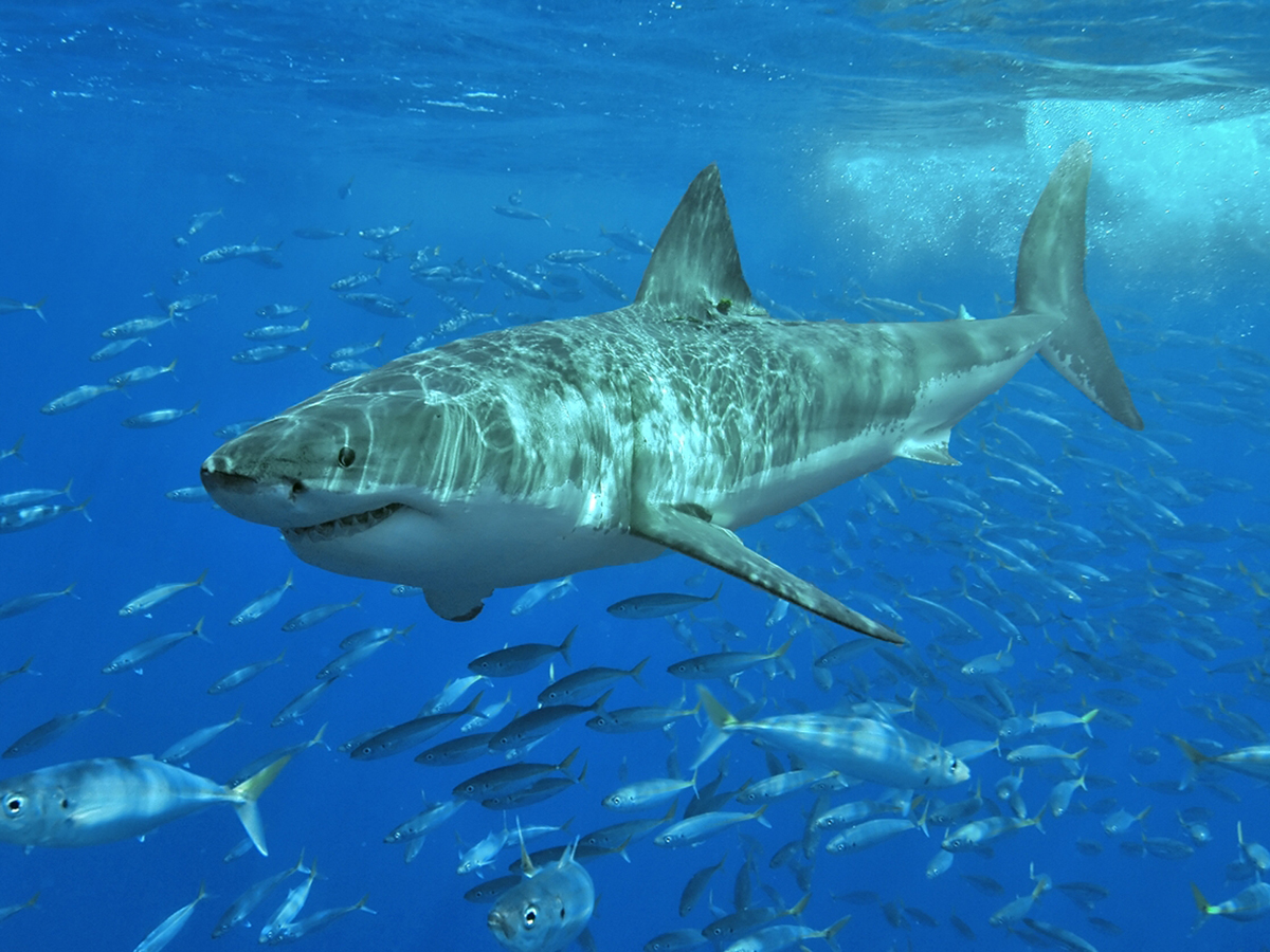 Dangerous Creatures Australia White Shark