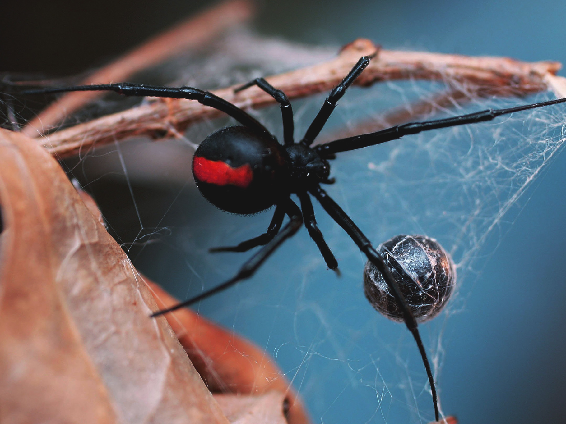 Red Back Spider Australia Dangerous Creature