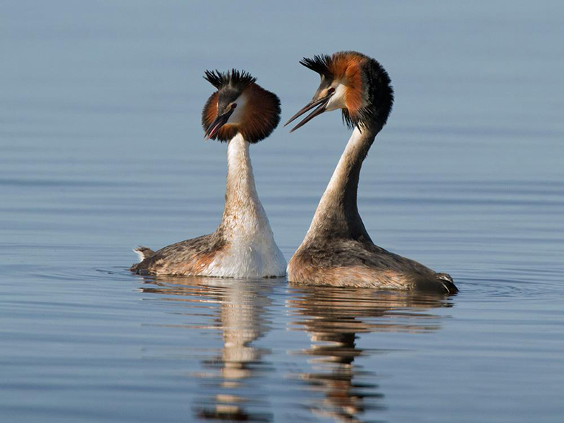 Great Crested Grebe Ranthambore
