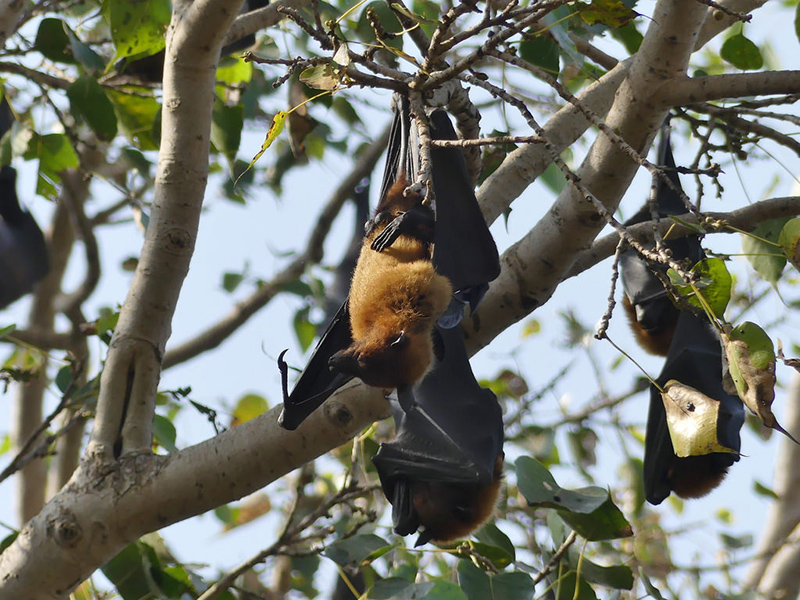 Indian Flying Fox Ranthambore