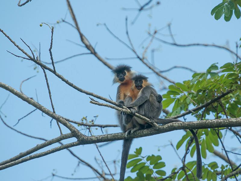 long tailed langur Kaziranga National Park