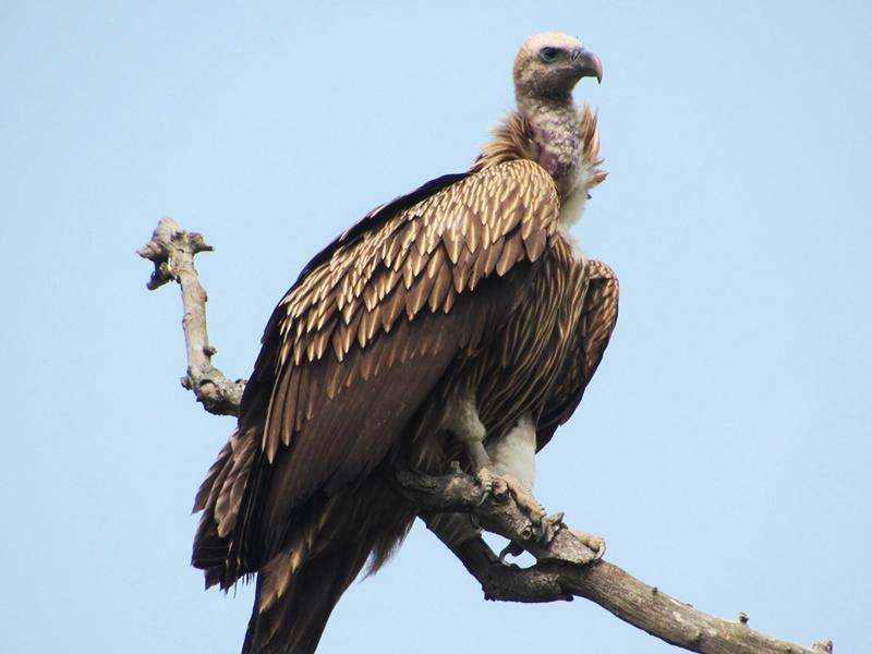 Griffon vulture Kaziranga National Park