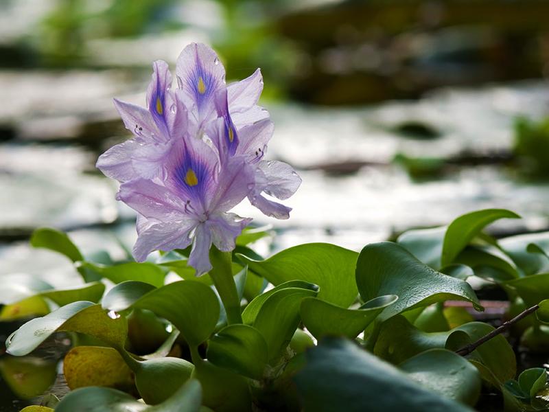 water hyacinth Kaziranga National Park